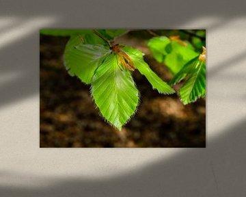 Eerste beukenblaadjes in de lentezon