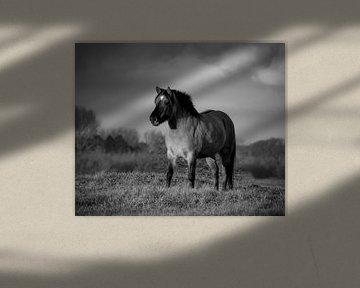Konik Pferd in schwarz und weiß von Marjolein van Middelkoop