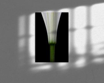 Lilie - Formstudie von Steffen Sebastian Schäfer