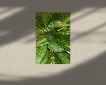 Groene leguaan liggend in palm blad op Aruba van Thijs van den Burg
