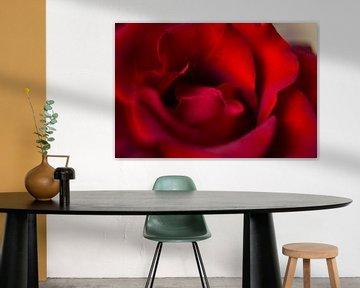Die Rose von Joran Quinten