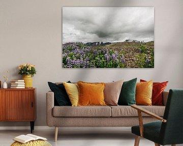 Isländische Landschaft   Lupine   Lila Blume von Floor Bogaerts