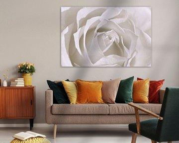 Weiße Rose von Violetta Honkisz