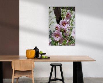 Blühende rosa Stockmalven vor einer Weissen Mauer mit Fachwerk, Deutschland, Europa von Torsten Krüger
