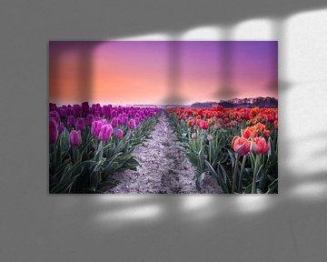 Lila und rote Tulpen bei Sonnenaufgang von Ruud van der Aalst