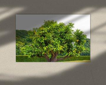 Sinaasappelboom van Rutmer Visser