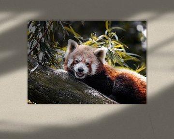 Red Pande lächelt in die Kamera von Sharon de Groot