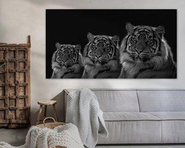 Tiger Drillinge mit farbigen Augen. In Schwarz und Weiß von Gert Hilbink