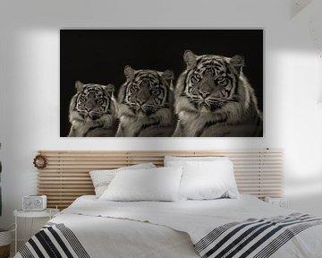 Tiger, Die Drillinge, Tiger-Porträt in schwarz-weiß von Gert Hilbink