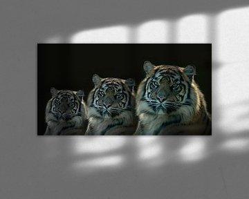 Tiger, Die Drillinge, Tiger-Porträt in Farbe von Gert Hilbink