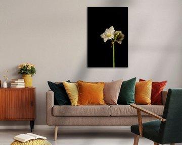 Amaryllis bloem wit van Karl Smits