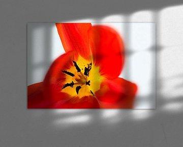 Herz einer roten Tulpe von Wim Stolwerk