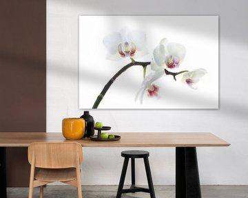Orchidee, weiß von Klaartje Majoor