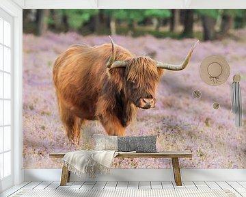 Schotse hooglander wandelt op zijn gemak naar slaapplek van Karin Riethoven
