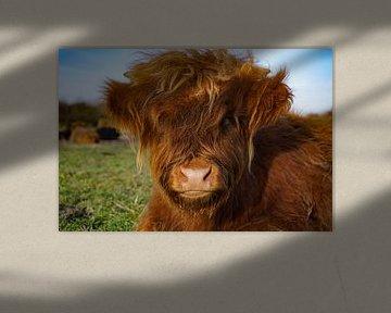 Kalb, schottischer Highlander von Amber van der Velden