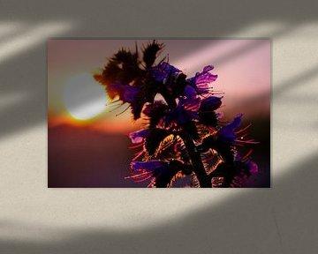 Eine lila Blume im Sommer während eines Sonnenuntergangs von Karijn | Fine art Natuur en Reis Fotografie