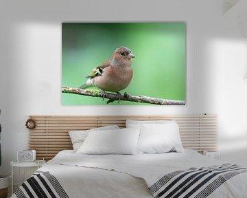 Buchfink (Fringilla coelebs) von Dirk Rüter