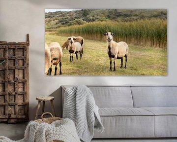 Schafe in den Dünen von Walcheren von Percy's fotografie