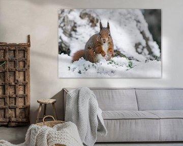 Eichhörnchen spielt mit Schnee. von Albert Beukhof