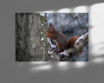 Eichhörnchen frisst eine Nuss im Schnee. von Albert Beukhof