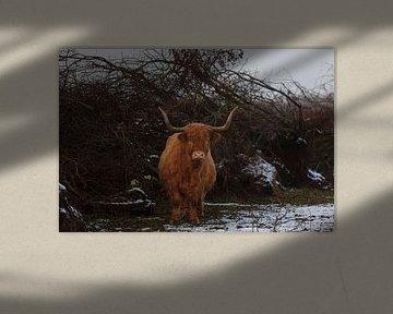Schotse Hooglander van Miranda Geerts
