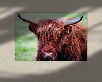 Schottischer Highlander schaut direkt in die Linse von Foto Graaf Eric
