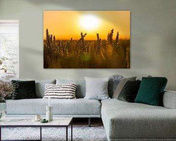 Korenveld in de gouden gloed van de avond zon tijdens het gouden uur van Kim Willems