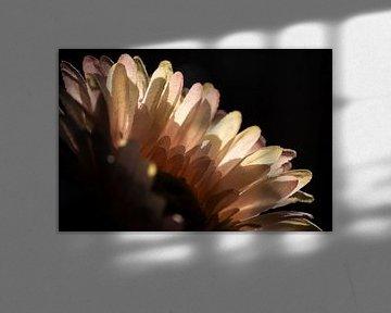 Falsche Gänseblümchens Blütenblätter von unten beleuchtet von Sharon de Groot