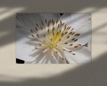 Witte bloem close-up von Dennis Claessens