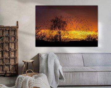 Starling Sonnenuntergang 2