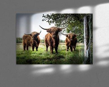 Schotse Hooglanders van S van Wezep