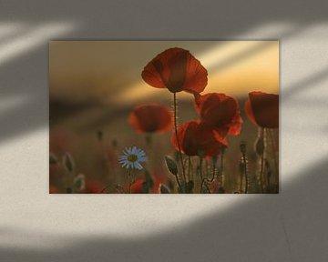 Mohnblumen Blüte auf dem Mohnfeld von Marc-Sven Kirsch