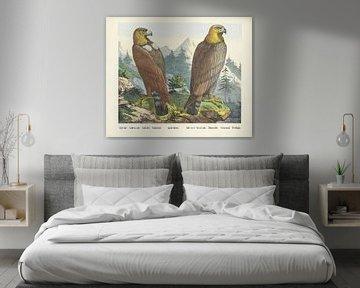 Aigle doré. / Steinadler. / Goldadler. / Steinadler. / Aquila dorato. / Aigle royal. / Königsadler.