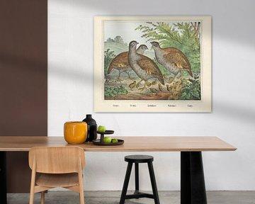 Pernici. / Perdrix. / Rebhühner. / Rebhühner. / Partridge, Firma von Joseph Scholz, 1829 - 1880
