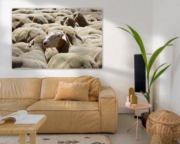 Schafe von Norman Krauß