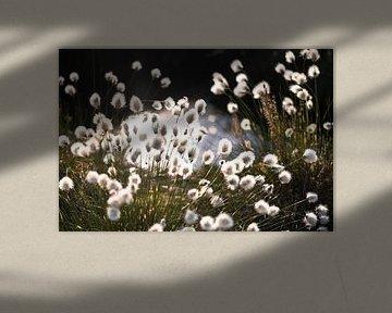 Katoengras met achtergrondverlichting van Kurt Krause