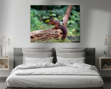 Eekhoorn eet nootje op een boomstam van Karin Schijf