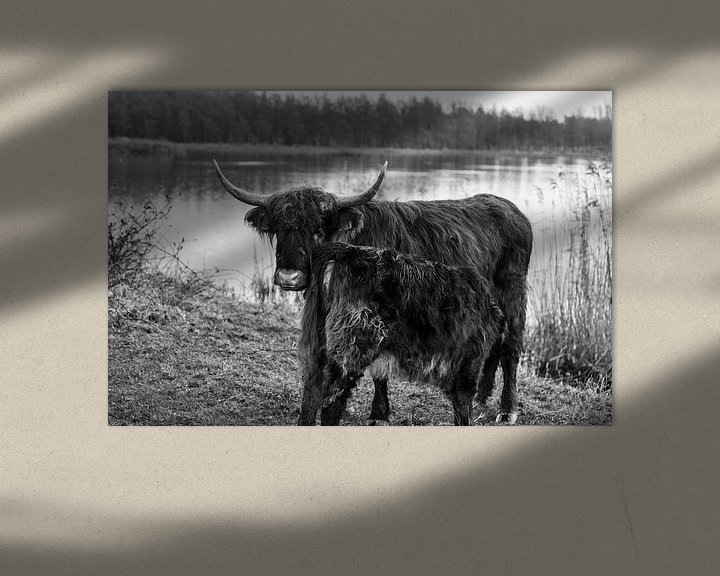 Sfeerimpressie: Kalf Schotse Hooglander drinkt bij zijn moeder van Heleen de Silva