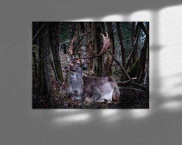Porträt eines liegenden Damhirsches von Roos Maryne - Natuur fotografie
