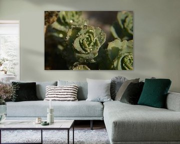 Vetplant met dauw van Tamara Van luik