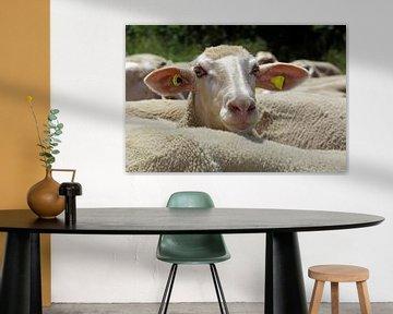 Schaf von Norman Krauß