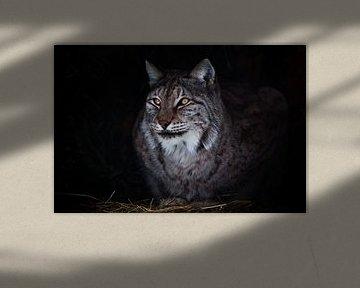 Runde ironischen Blick große Katze Luchs in der Dunkelheit von Michael Semenov