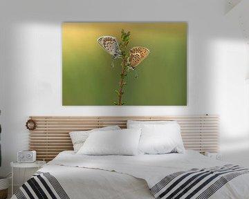 Heideblauwtjes in het ochtendlicht van Elles Rijsdijk
