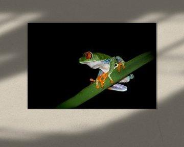 Rotäugiger Quecksilberfrosch am Abend von Elles Rijsdijk