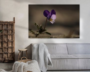 Blühendes Stiefmütterchen von Latifa - Natuurfotografie