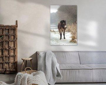 Exmoor Pony im Schnee von Maria-Maaike Dijkstra