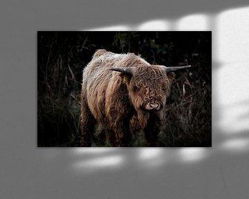 Schotse hooglander van Marvin Van Haasen
