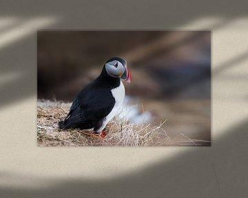 Bunter Papageientaucher in Island von Leon Brouwer