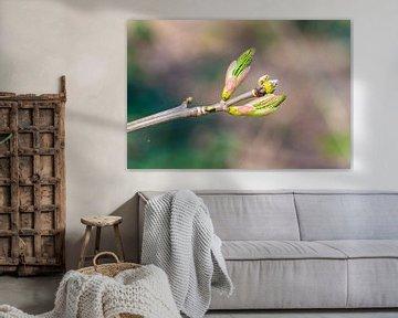 Een knop van een esdoornboom met wazige achtergrond van Matthias Korn