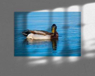 Enten schwimmen in Ruhe über einem kleinen Teich in Norddeutschland von Matthias Korn